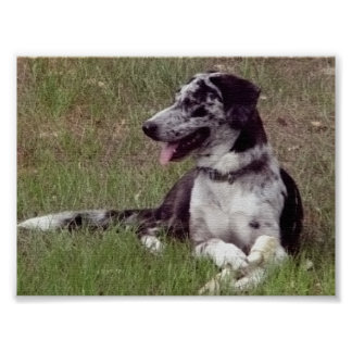 Catahoula Leopard Dog Poster