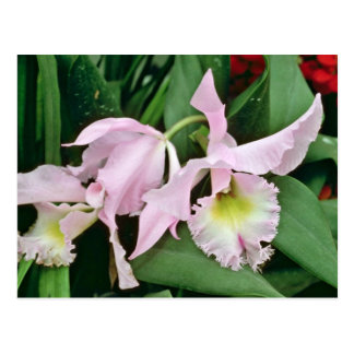 Catalaya orchid flowers post card