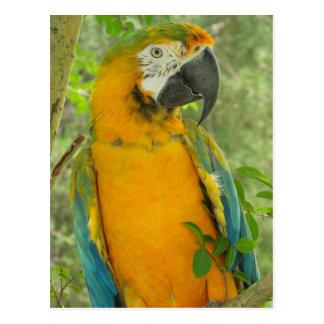 Catalina Macaw Postcard