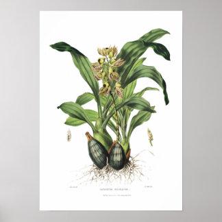 Catasetum maculatum by Miss Drake. Poster