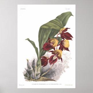 Catasetum splendens posters