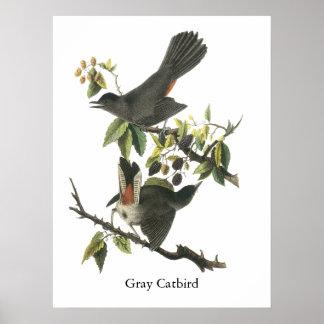 Catbird gris Juan Audubon Posters