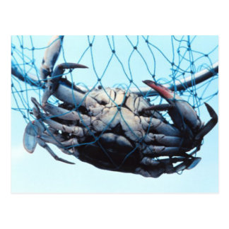 Catching Blue Crab Postcard