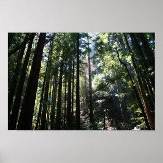 """""""Catedral del árbol"""", maderas de Muir Poster"""