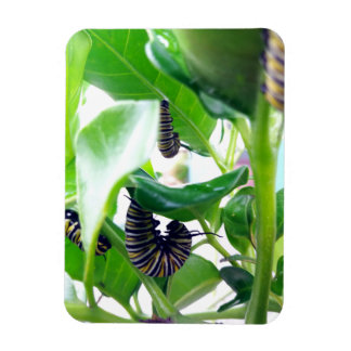 Caterpilar of the Monarch Butterfly Magnet