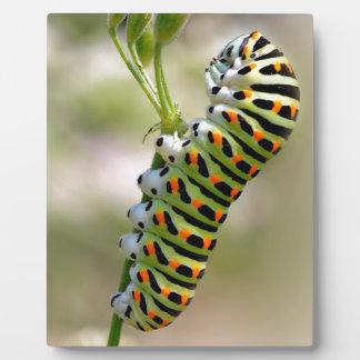 Caterpillar of swallowtail on grass plaque