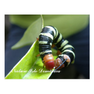 Caterpillar  On Leaf Postcard