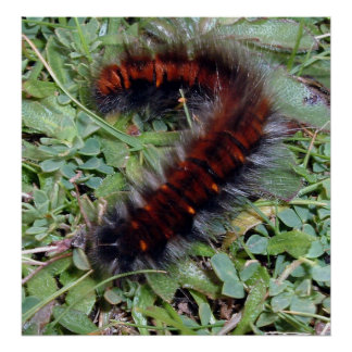 Caterpillar peludo póster