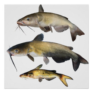 Catfish Family Poster