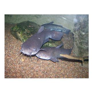 Catfish fishing zoo postcard