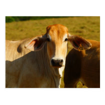 Cathine the cute cow postcard