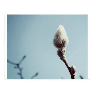 Catkin winter Willow Tree Postcard