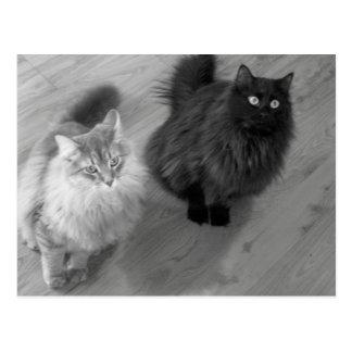cats b n w postcard