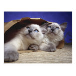 Cats in paper bag post card