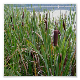 Cattails by Lake Poster