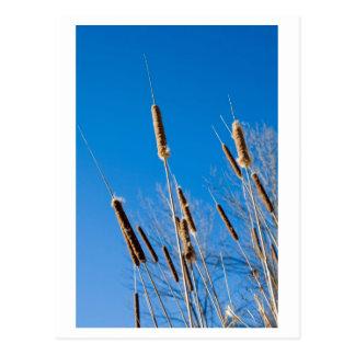 cattails del invierno tarjeta postal