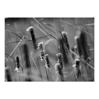 CAttails in the Breeze - Black and White Photo Posters