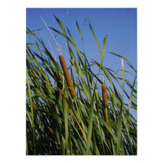 Cattails Posters