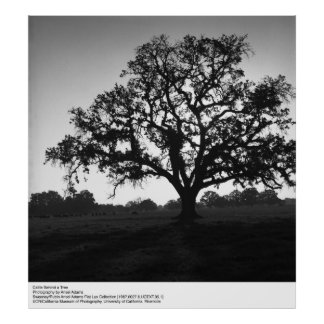 Cattle Behind a Tree by Ansel Adams Poster