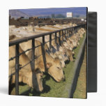 Cattle eat at a feedlot in Grandview, Idaho. 3 Ring Binder