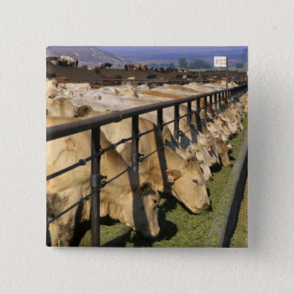 Cattle eat at a feedlot in Grandview, Idaho. Button
