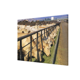 Cattle eat at a feedlot in Grandview, Idaho. Canvas Print