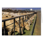 Cattle eat at a feedlot in Grandview, Idaho. Greeting Card