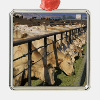 Cattle eat at a feedlot in Grandview Idaho Ornament