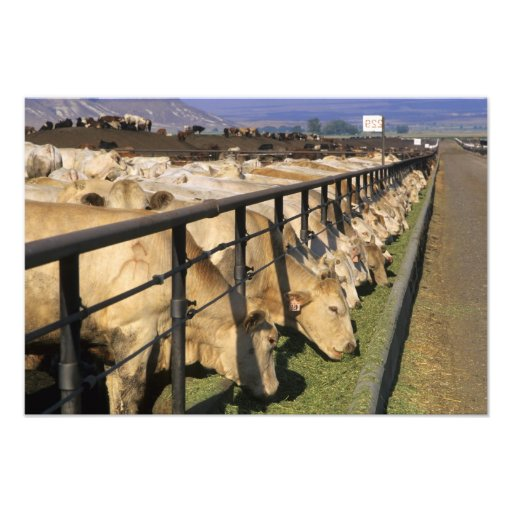 Cattle eat at a feedlot in Grandview, Idaho. Photo Print