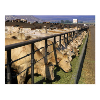 Cattle eat at a feedlot in Grandview, Idaho. Postcard