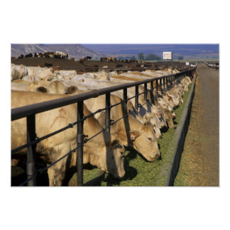 Cattle eat at a feedlot in Grandview Idaho Poster
