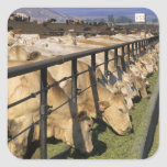 Cattle eat at a feedlot in Grandview, Idaho. Square Sticker