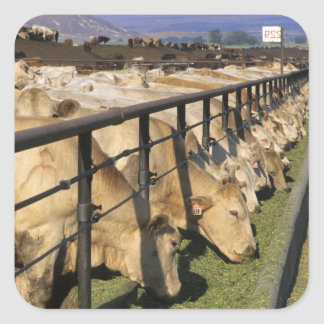 Cattle eat at a feedlot in Grandview Idaho Stickers