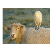 Cattle Egret on Sheep Postcard