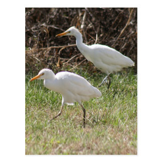 Cattle Egrets Photo Postcard