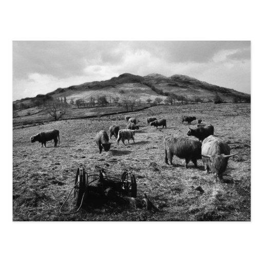 Cattle Grazing at Tarbet, Loch Lomond, Scotland Postcard