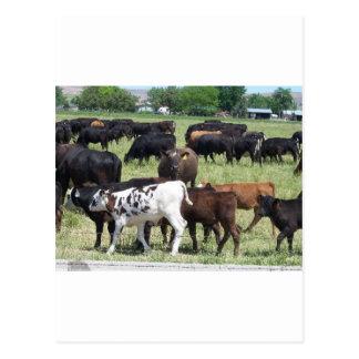 Cattle Herd Postcard