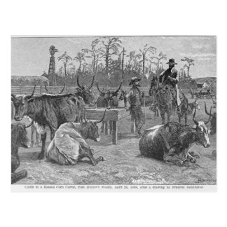 Cattle in a Kansas Corn Corral Postcard