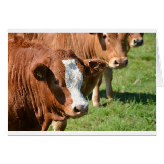 Cattle in the Isles of Scilly Card