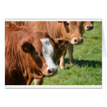 Cattle in the Isles of Scilly Greeting Cards