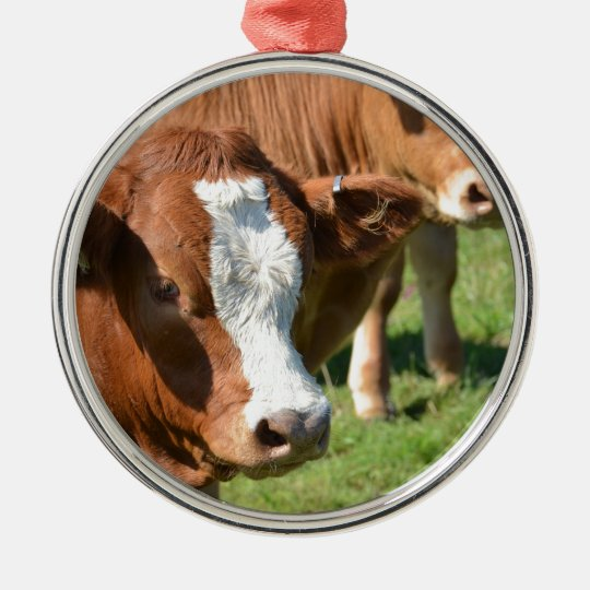Cattle in the Isles of Scilly Metal Ornament