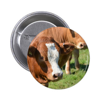 Cattle in the Isles of Scilly Pinback Button