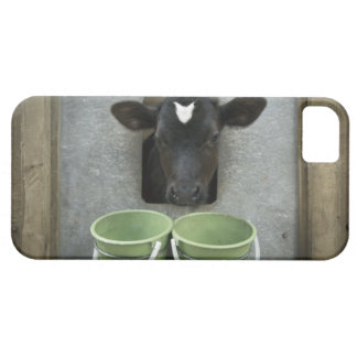 Cattle, Individual Pen iPhone 5 Covers