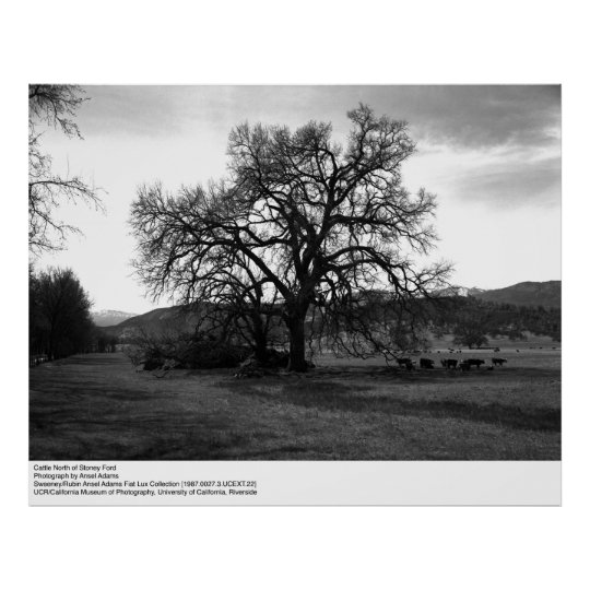 Cattle North of Stoney Ford by Ansel Adams Poster