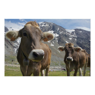 Cattle of the 'Alpine Brown' breed Poster