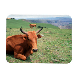 Cattle On Hill, Eastern Cape, South Africa Rectangular Photo Magnet