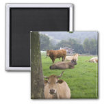 Cattle on rural farmland near the town of 2 inch square magnet