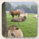 Cattle on rural farmland near the town of beverage coaster