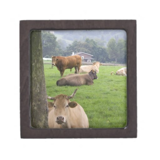 Cattle on rural farmland near the town of jewelry box