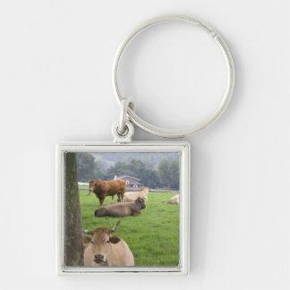 Cattle on rural farmland near the town of keychain